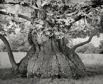 arbre 07_Croft_Chestnut